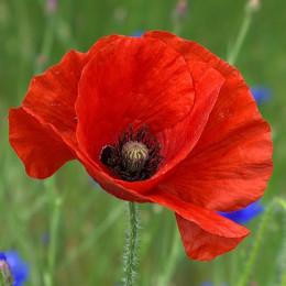 WW1-PoppyFeatured