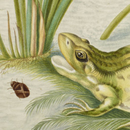 Detail from Marsh Marigold with the life cycle of a frog by Maria Merian