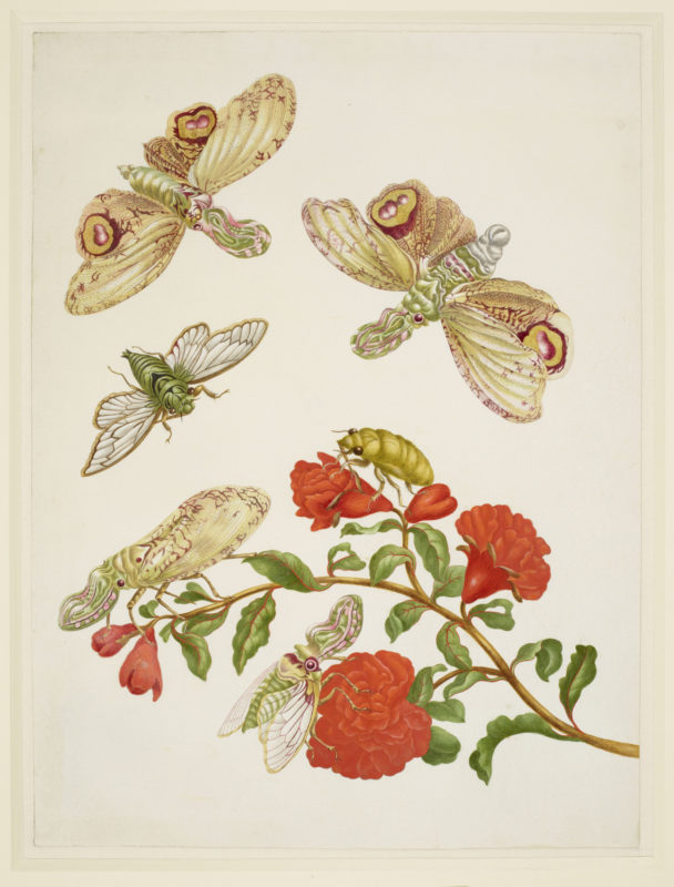 Branch of Pomegranate with Lanternfly and Cicada 1702-03, by Maria Sibylla Merian (1647-1717)