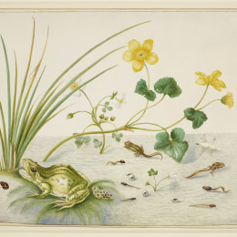 Marsh Marigold by Maria Merian