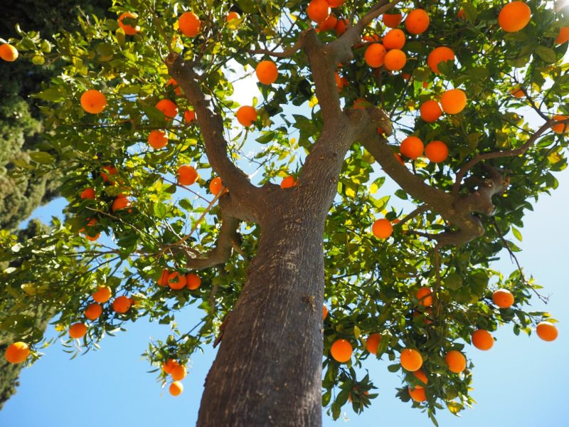 Image of orange tree